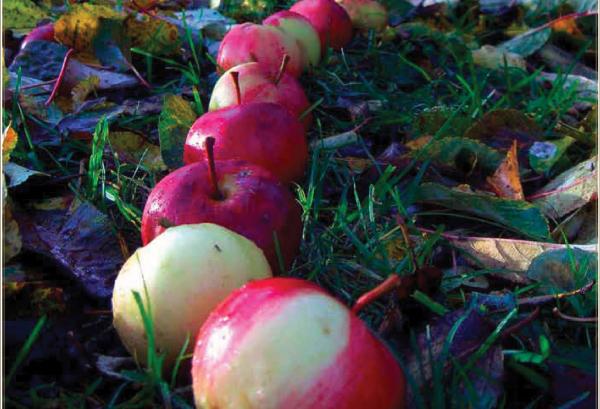 Apple Harvest by Kathleen M. Quinlan