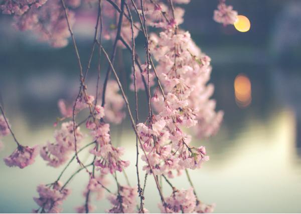 Pear Blossom and Cherry Blossom after Mandelstam by Susan Kelly-DeWitt